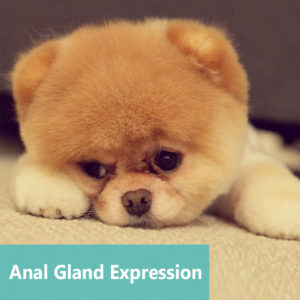 Anal Gland Expression at Apollo Animal Hospital