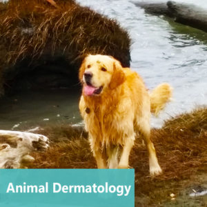 Animal Dermatology at Apollo Animal Hospital