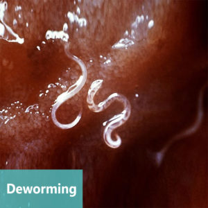Deworming at Apollo Animal Hospital