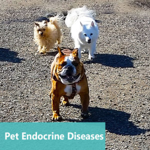 Pet Endocrine Diseases at Apollo Animal Hospital