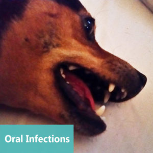 Pet Oral Infections at Apollo Animal Hospital